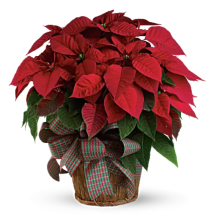 Large Poinsetta Plant