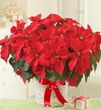 Poinsettia Plant in a Basket
